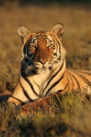 English: Cathay, South China Tigress, in Africa