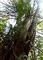 Cedar at Windy Bay, Gwaii Haanas (27434294872).jpg