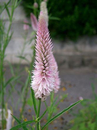 Amaranthoideae - Celosia argentea, Celosieae