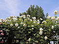 Cemetery white rose trellis at Theydon Bois, Essex, England.JPG