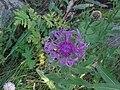 Centaurea uniflora - Méolans-Revel, Laverq 1.jpg