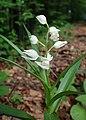 Cephalanthera longifolia kz03.jpg