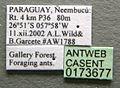 Cephalotes guayaki casent0173677 label 1.jpg