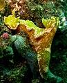 Ceratosoma tenue - Purple Edged Ceratosoma Nudibranch (2645546088).jpg
