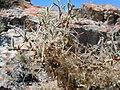 Cercocarpus ledifolius (5062614737).jpg