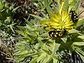 Ceroctis capensis Avontuur 01.jpg