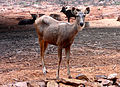 Cervus unicolor (Sambar deer) at IGZoo Visakhapatnam 05.JPG