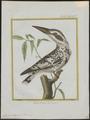 Ceryle rudis - 1700-1880 - Print - Iconographia Zoologica - Special Collections University of Amsterdam - UBA01 IZ16800239.tif