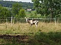 Chèvre du Rove en Haute-Savoie.jpg