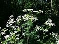 Chaerophyllum bulbosum sl27.jpg
