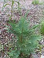 Chamaecyparis lawsoniana seedling. - Flickr - theforestprimeval.jpg