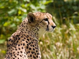 Felinae - Image: Cheetah 4