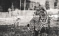 Cheetah (108385815).jpeg