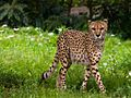 Cheetah 5.jpg