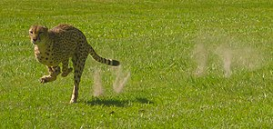 Cheetah Run at White Oak.JPG