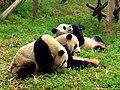 Chengdu-pandas-d11.jpg