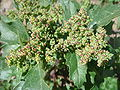 Chenopodium-album-20080320.JPG