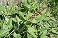 Chenopodium bonus-henricus - img 17251.jpg