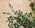 Chenopodium vulvaria plant (5).jpg