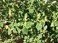 Chenopodium vulvaria sl21.jpg