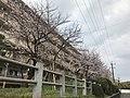 Cherry blossoms in Fukuoka, Fukuoka 20190330.jpg