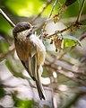 Chestnut-backed Chickadee (34292698694).jpg