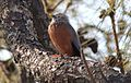 Chestnut Tailed Starling.jpg