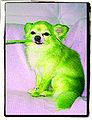 Chihuahua vert.jpg