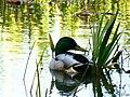 Chilling Duck (enhanced).jpg