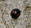 Chilocorus renipustulatus (Kidney-spot Ladybird) - Flickr - S. Rae (1).jpg