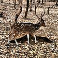 Chital (deer).jpg