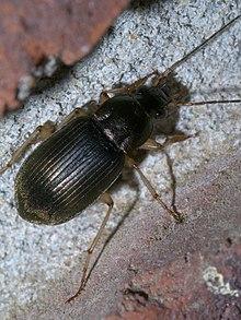 Chlaenius circumcinctus - Wikipedia