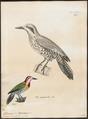 Chloronerpes percussus - 1700-1880 - Print - Iconographia Zoologica - Special Collections University of Amsterdam - UBA01 IZ18700381.tif