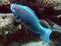 Chlorurus perspicillatus