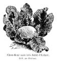 Chou-fleur nain très hâtif d'Erfurt Vilmorin-Andrieux 1904.png
