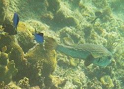 Chromis cyanea - blue chromis and Lactophrys trigonus - buffalo trunkfish - Bay of Pigs - Cuba.jpg