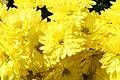 Chrysanthemum Showmakers Multiflora Gold Crest Yellow 0zz.jpg