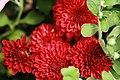 Chrysanthemum x Helen 1zz.jpg