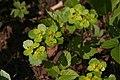 Chrysosplenium alternifolium, Labergement - img 16958.jpg