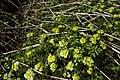 Chrysosplenium alternifolium, Labergement - img 29071.jpg