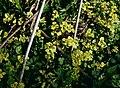 Chrysosplenium alternifolium 3.jpg