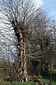 Church of St Mary and St Christopher, Panfield - churchyard dead tree 2.jpg