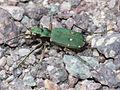 Cicindela campestris (Cicindelidae) (9727243355).jpg