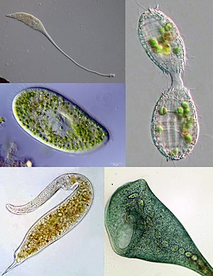 Ciliate - Some examples of ciliate diversity. Clockwise from top left: Lacrymaria, Coleps, Stentor, Dileptus, Paramecium