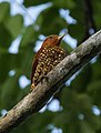 Cinnamon Woodpecker - Darién - Panama (48431724117).jpg
