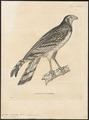 Circus macropterus - 1700-1880 - Print - Iconographia Zoologica - Special Collections University of Amsterdam - UBA01 IZ18300237.tif