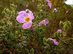 Cistus heterophyllus - Cistus heterophyllus subsp. carthaginensis, Sierra Minera de Cartagena, Spain