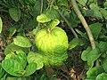 Citrus medica - Citron at Thattekkadu (2).jpg