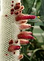 Cleistocactus strausii Kiev3.jpg