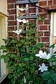 Clematis on trellis at Boreham, Essex, England.jpg